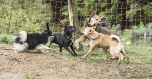 Rangordnungskampf in einem Rudel von Problemhunden resp. Leithunden
