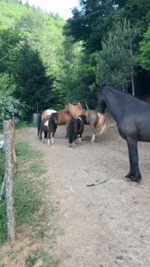 Unsere Pferdeherde auf dem Paddocktrail