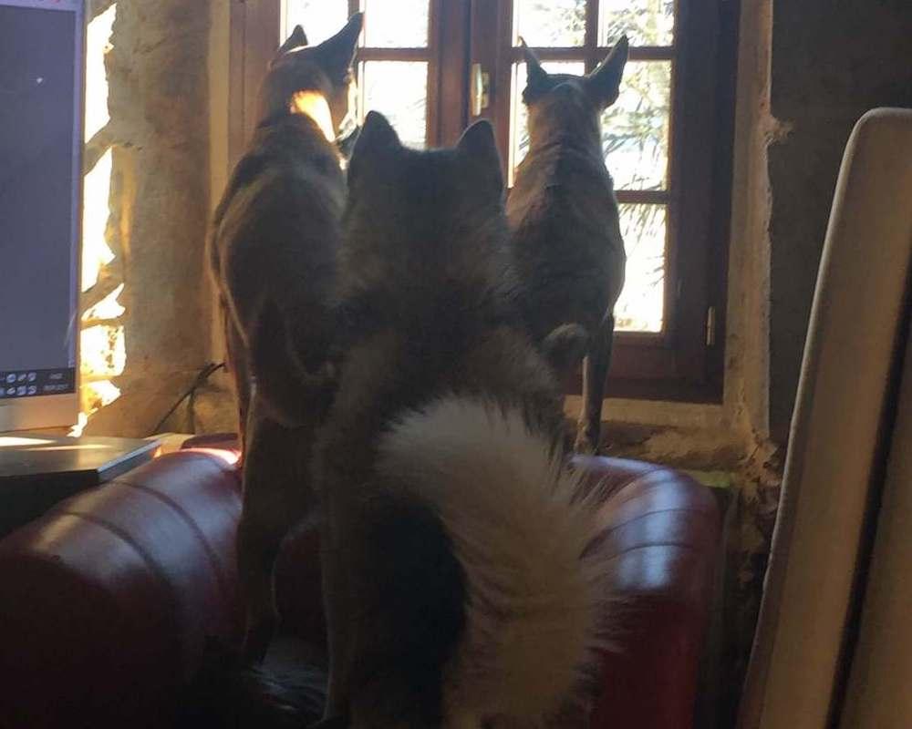 3 Leithunde von hinten, die aus dem Fenster schauen